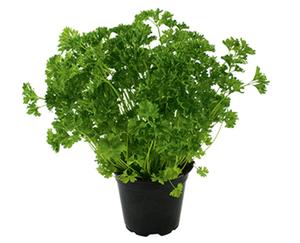 Gartenkräuter im Topf*