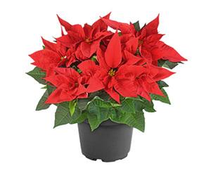 GARDENLINE®  Weihnachtssternbusch
