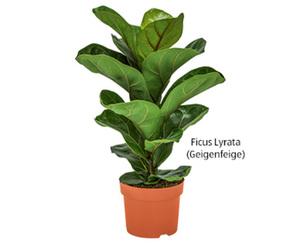 GARDENLINE®  Grünpflanzen-Arrangement