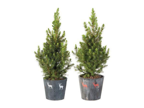 Zuckerhutfichte (Picea Conica)