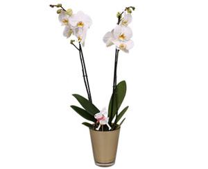 GARDENLINE®  Orchidee im Glastopf
