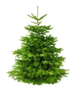 Nordmanntanne echter Weihnachtsbaum ,  140-160 cm, frisch gefällt
