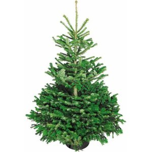 Weihnachtsbaum Echte Nordmanntanne 125 - 150 cm hoch gesägt