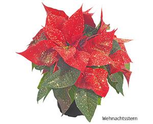 GARDENLINE®  Weihnachtliche Blühpflanze mit Glitter