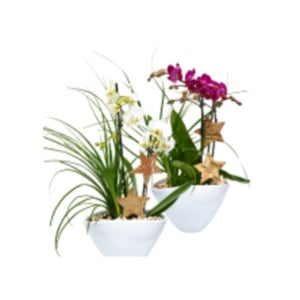 Medi Phalaenopsis-Orchidee