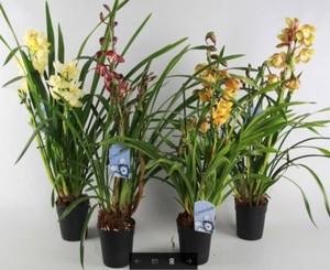 Orchidee 3-Trieber ,  14 cm Topf