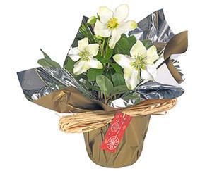 GARDENLINE®  Christrose in Geschenkverpackung