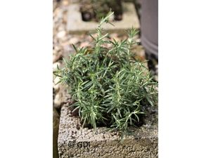 Rosmarin, 2 Pflanzen