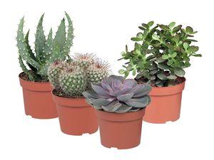 Kaktus/Sukkulente