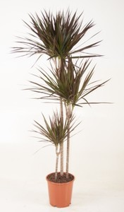 Drachenbaum ,  24 cm Topf