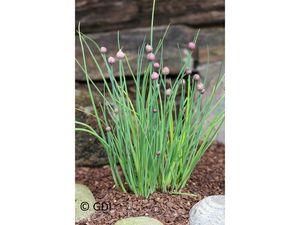 Schnittlauch, 2 Pflanzen