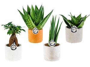 Easy Care-Pflanze