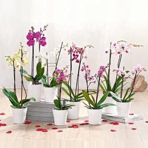 Orchidee mit 2 Rispen