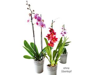GARDENLINE®  Orchidee