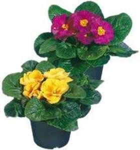 Primeln Blumen