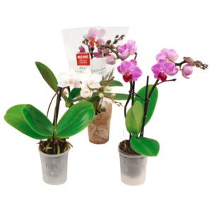 Mini Orchidee*