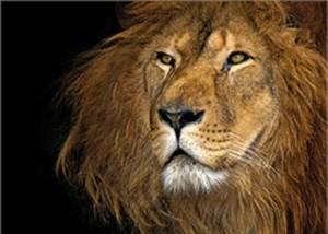 Bild Decopanel ,  Lion, 140 x 100 cm