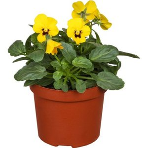Horn-Veilchen Gelb Topf-Ø ca. 9 cm Viola cornuta