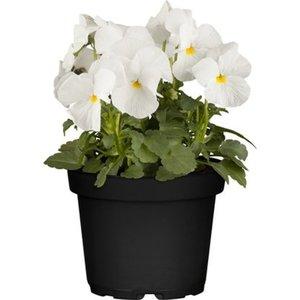 Horn-Veilchen Weiß Topf-Ø ca. 9 cm Viola cornuta