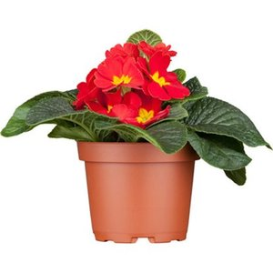 Kissen-Primel Rot Topf-Ø ca. 9 cm Primula acaulis