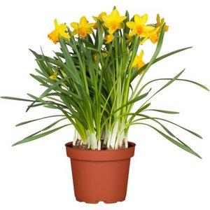 "Narzisse ""Jetfire"" Gelb-Orange Topf-Ø ca. 11 cm Narcissus"