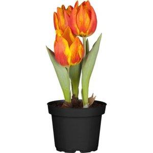 Tulpe Orange Topf-Ø ca. 11 cm Tulipa