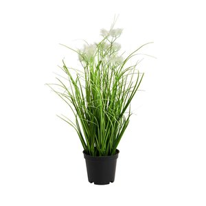 Pompom Gras im Topf  Ø 8cm
