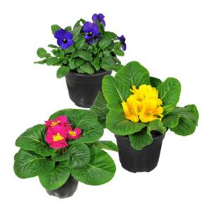 GARDEN FEELINGS     Frühlingspflanze