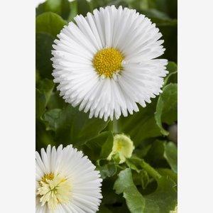 Tausendschön 'Weiß', 10,5 cm Topf