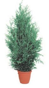 Lebensbaum »Thuja« oder Blaue Scheinzypresse »Chamaecyparis«
