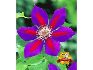Waldrebe Clematis 'Etoile de Malicorne', 1 Pflanze