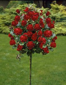 Rosenstämmchen, 3 Stück, rosa / rot und gelb