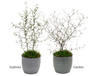 GARDENLINE®  Zickzackstrauch und Schnurbaum