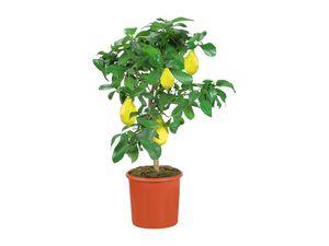 Zitruspflanzenstamm