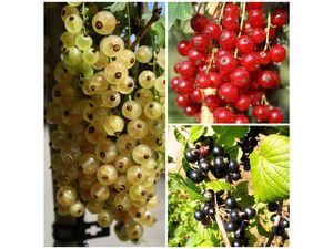 Johannisbeer-Säulen 3er Set - je 1 Pflanze rote, weiße und schwarze Früchte