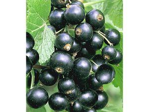 Johannisbeeren 'Schwarze Titania', 1 Strauch, Ribes rubrum