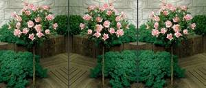 Rosenstämmchen, rosa blühend, 3 Pflanzen Westfalia
