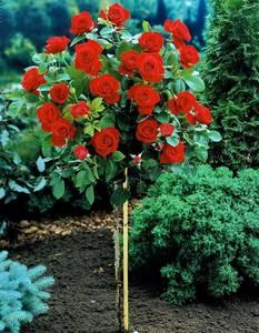 Rosenstämmchen, rot blühend, 3 Pflanzen Westfalia