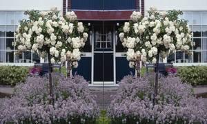 Rosenstämmchen, weißblühend, 3 Pflanzen Westfalia