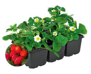 GARDENLINE®  Erdbeerpflanzen, 6er-Tray