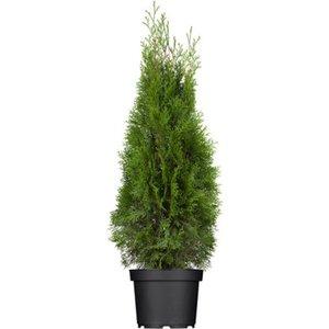"Lebensbaum ""Smaragd"" Höhe ca. 80 - 100 cm Topf ca. 4 l Thuja occidentalis"