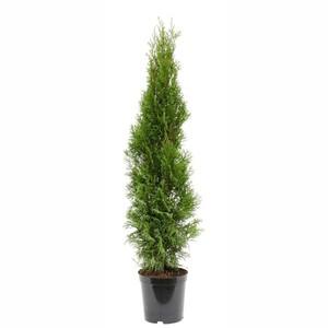 Lebensbaum 55-65 cm Thuja Occidentalis Smaragd
