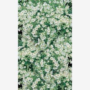 toomEigenmarken -              toom Himalaya-Hornkraut 'Silberteppich', 11 cm Topf