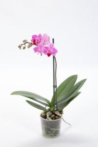 Orchideen 9 cm Topf ,  9 cm Topf