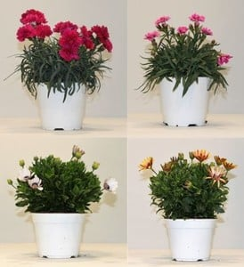 Blühpflanzen Mix ,  14 cm Topf