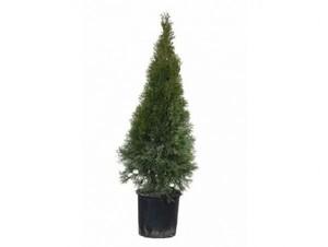 Lebensbaum Smaragd ,  7 l Container