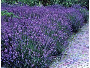 Lavendel, 5 Stauden