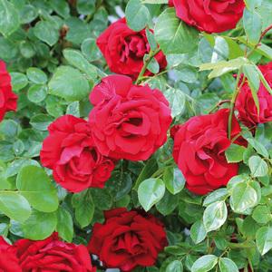 Finest Garden Hochstamm Rose
