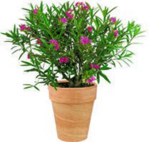 Oleander-Busch