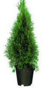 Lebensbaum  oder Blaue  Scheinzypresse
